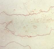 Detallo técnico: SHELL BEIGE, mármol natural pulido iraní